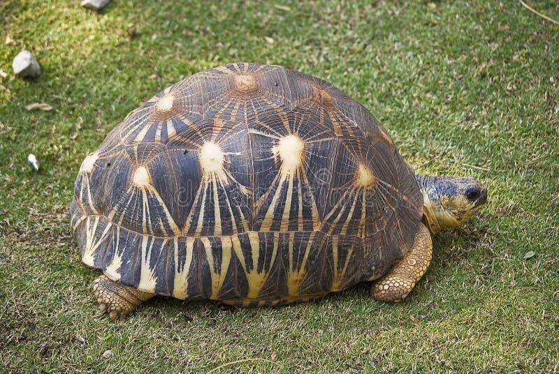 Ausgestrahlte Schildkröte lizenzfreies stockbild