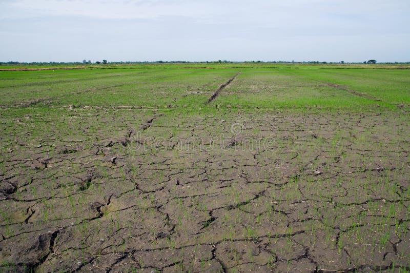 Ausgetrocknete Reispaddyfelder in Thailand lizenzfreies stockfoto