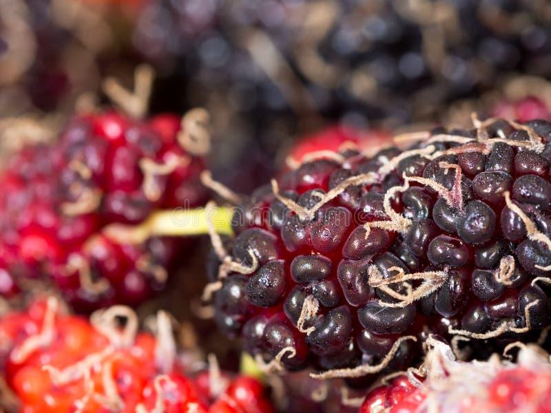 Ausgewählter Fokus der roten und purpurroten Maulbeere der Hintergrund ist eine Gruppe Maulbeeren Dampf wird zur Maulbeere befest stockfotos