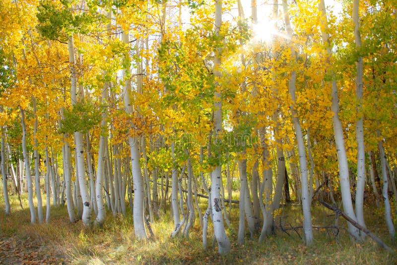 Ausgezeichnete helle farbige Espenbäume mit einem Sonnendurchbruch im Herbst stockfoto