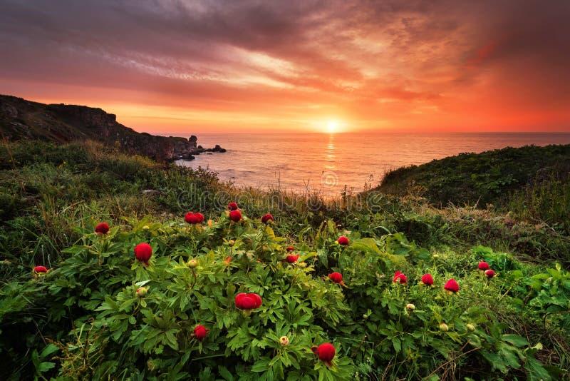 Ausgezeichnete Sonnenaufgangansicht mit schönen wilden Pfingstrosen auf dem Strand stockbilder
