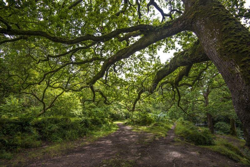Ausgezeichnete Waldlandschaft in Dewerstone-Holz auf dem Südrand von Dartmoor, Devon, England lizenzfreies stockfoto