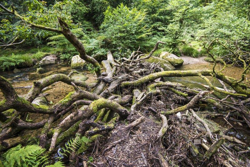 Ausgezeichnete Waldlandschaft in Dewerstone-Holz auf dem Südrand von Dartmoor, Devon, England lizenzfreies stockbild
