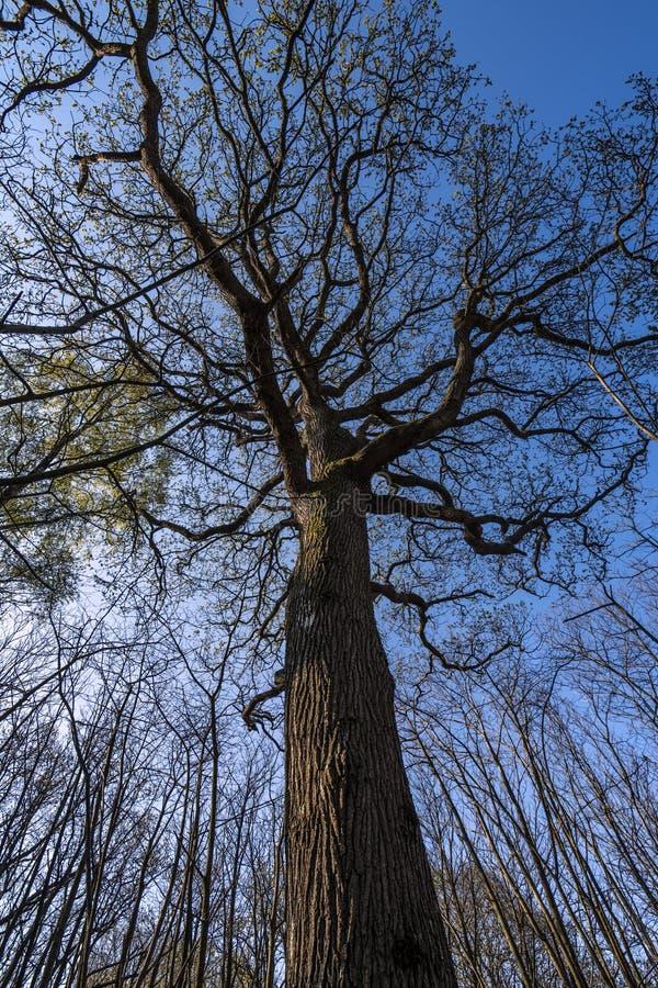 Ausgezeichneter hoher Baum im Vorderholz, Crowhurst, East Sussex, England stockfotos