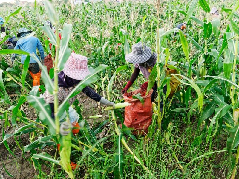 Ausländische Arbeiter birmanisches Myanmar oder Birma stellen an, um Zuckermais zu ernten lizenzfreies stockfoto