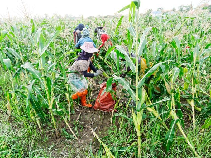 Ausländische Arbeiter birmanisches Myanmar oder Birma stellen an, um Zuckermais zu ernten lizenzfreie stockfotografie