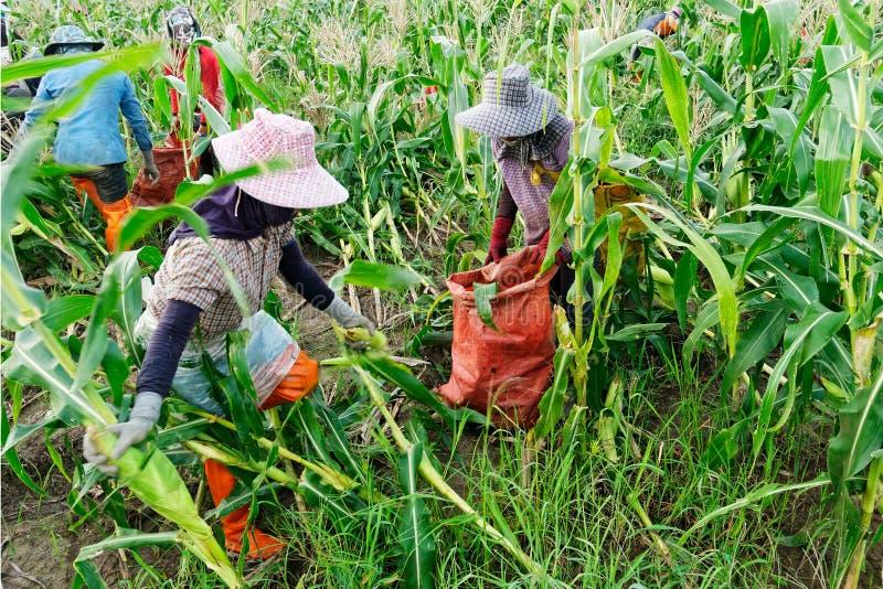 Ausländische Arbeiter birmanisches Myanmar oder Birma stellen an, um Zuckermais zu ernten lizenzfreie stockfotos