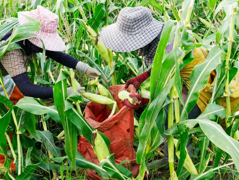 Ausländische Arbeiter birmanisches Myanmar oder Birma stellen an, um Zuckermais zu ernten lizenzfreies stockbild