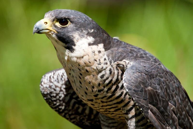 Ausländischer Falke stockfotografie