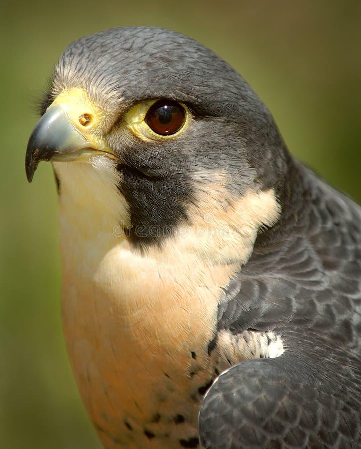 Ausländischer Falke stockfoto