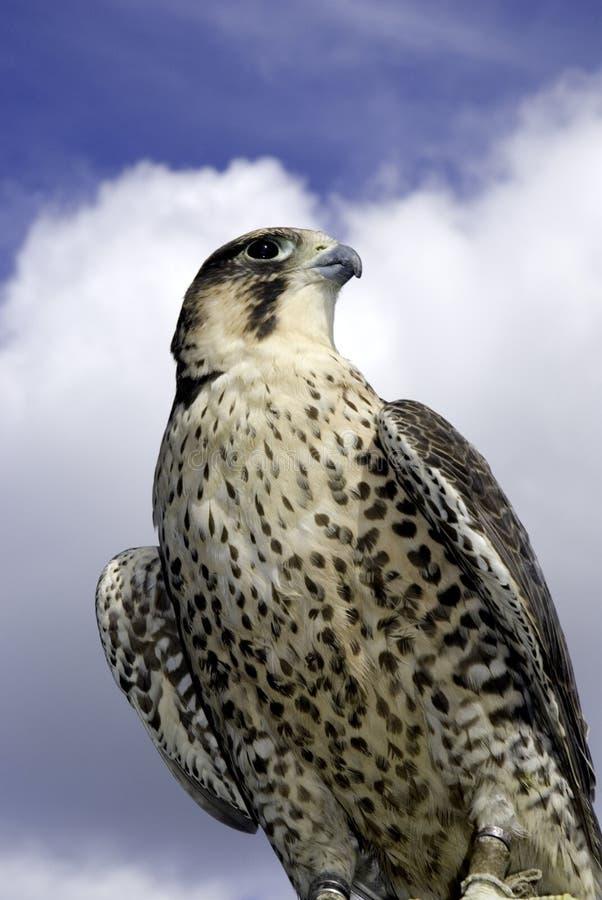 Ausländischer Falke stockfotos