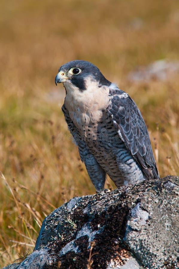 Ausländischer Falke (Falco Peregrinus) lizenzfreies stockfoto