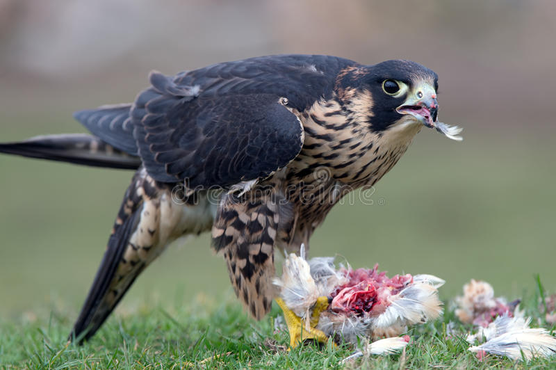 Ausländischer Falke (Falco peregrinus) stockbild