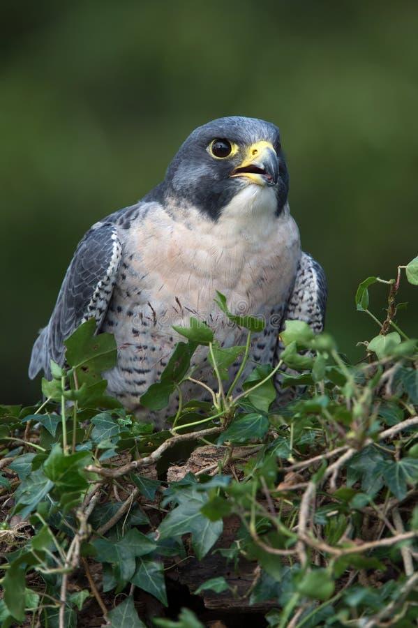 Ausländischer Falke (Falco peregrinus) lizenzfreie stockfotografie