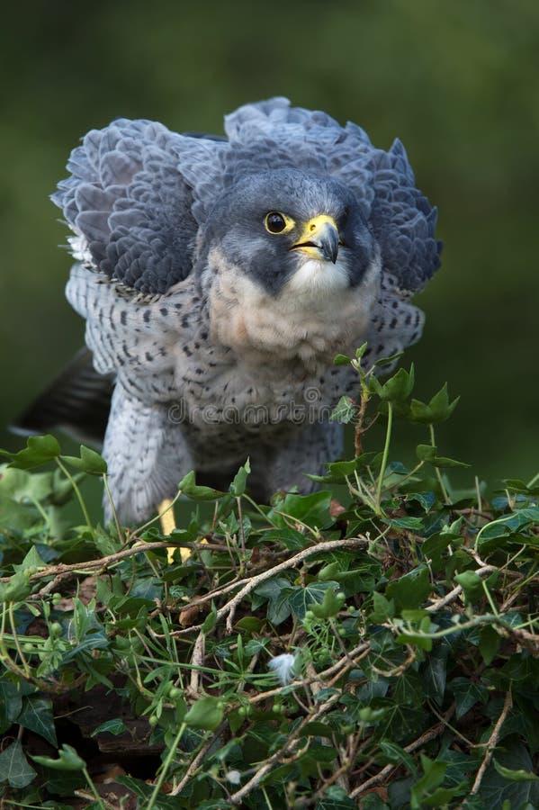 Ausländischer Falke (Falco peregrinus) lizenzfreie stockbilder