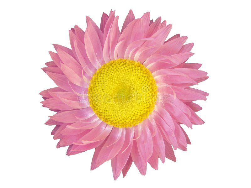 Auslegung-Elemente: Rosafarbener Blumen-Kopf stockbilder