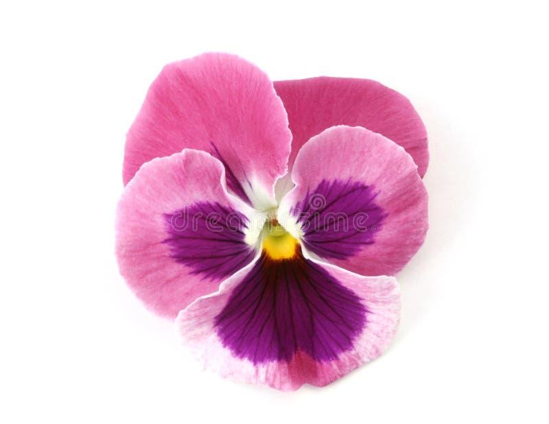 Auslegung-Elemente: Rosafarbener Pansy stockfotografie