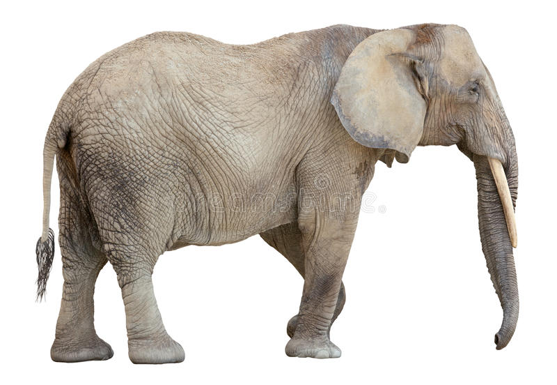 Ausschnitt des afrikanischen Elefanten lizenzfreie stockfotografie