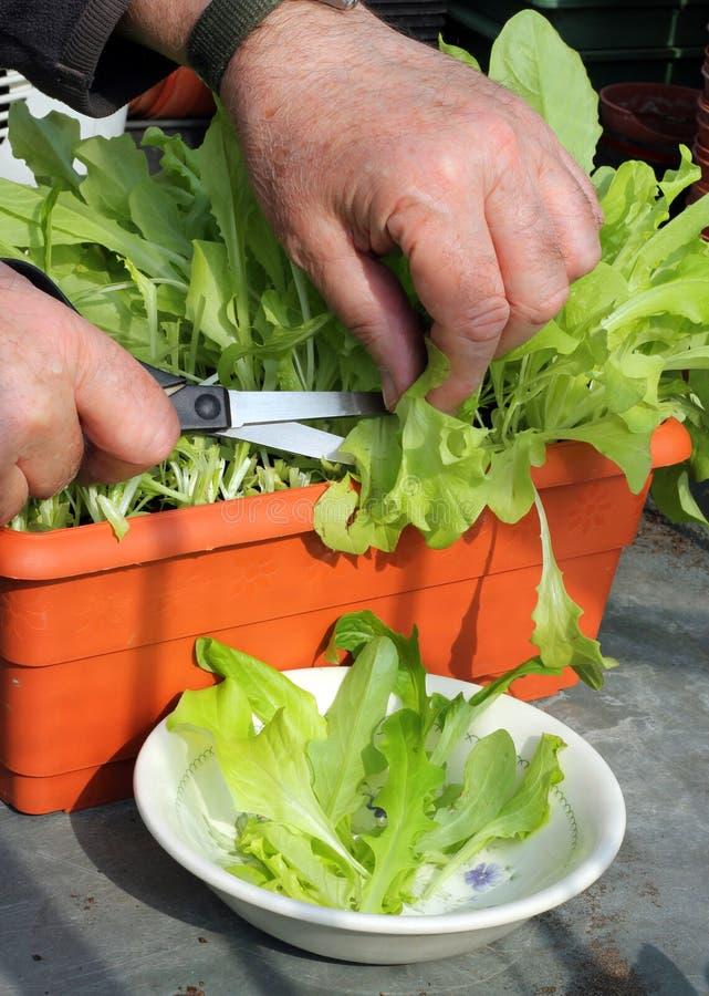 Ausschnittkopfsalat vom Innenbehälter. lizenzfreies stockfoto