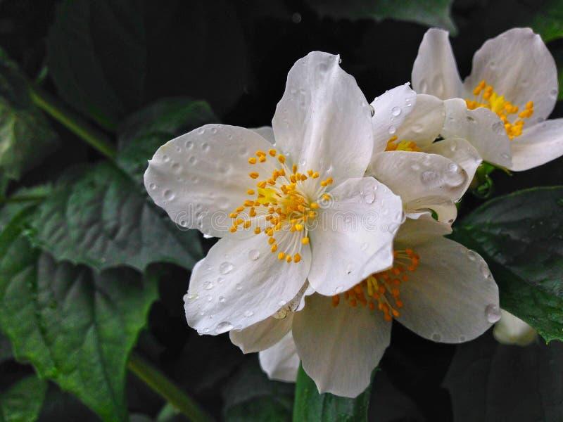 Aussi pur que des fleurs images libres de droits
