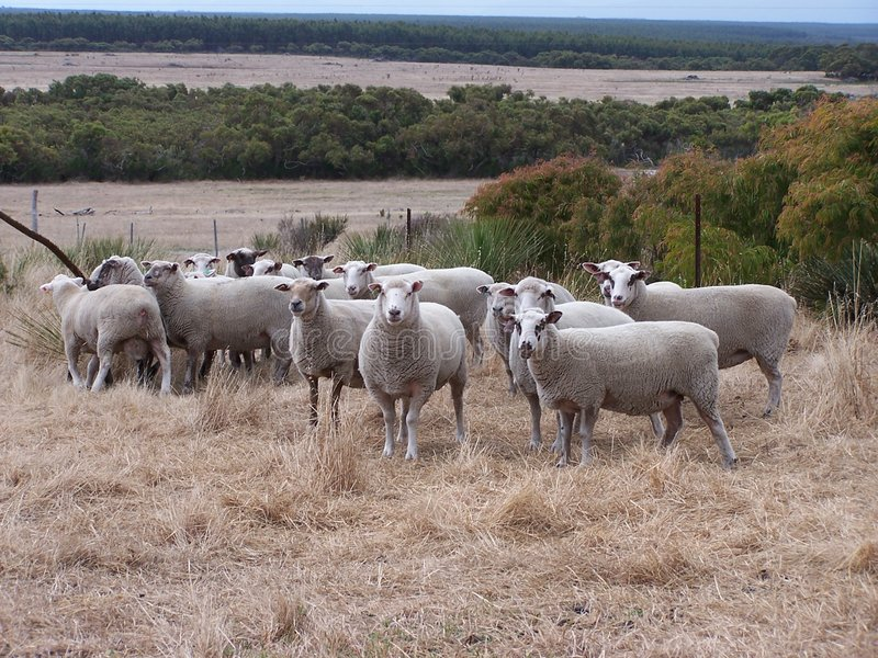 aussie πρόβατα στοκ φωτογραφίες