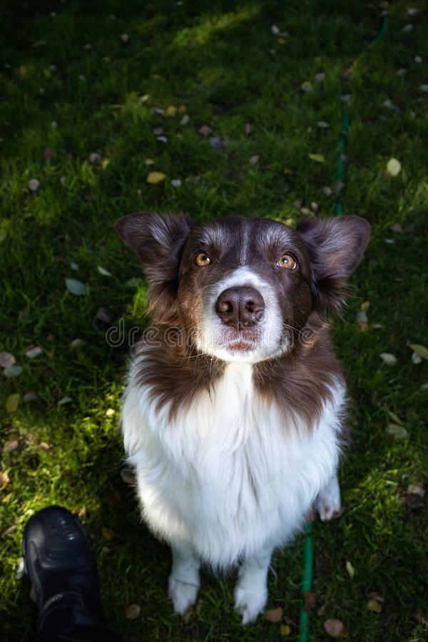 Aussie Australian Shepherd Border Collie väntar tålmodigt på fest arkivbild