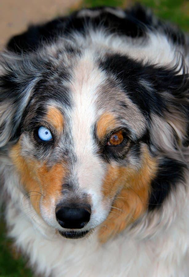 Aussie con el azul y los ojos de Brown imágenes de archivo libres de regalías