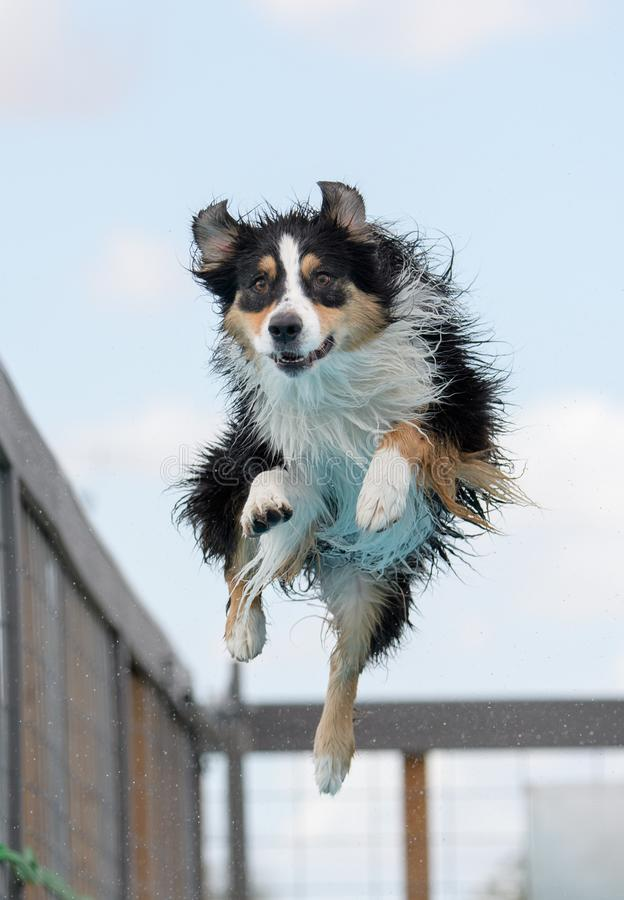 Australian Shepherd in the air. Aussie dock diving caught in mid-air over the water looking for the toy stock image