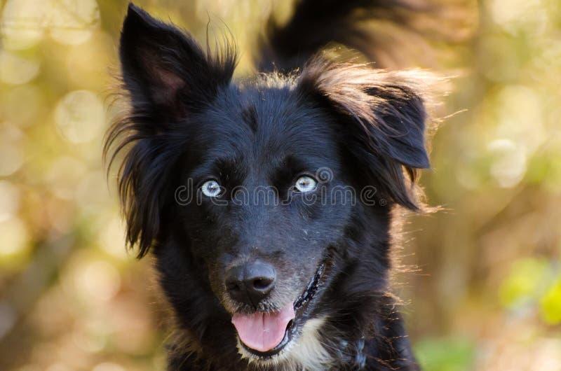 Aussie husky mieszający trakenu pies zdjęcia stock