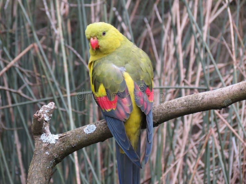 Aussie papuga zdjęcie royalty free