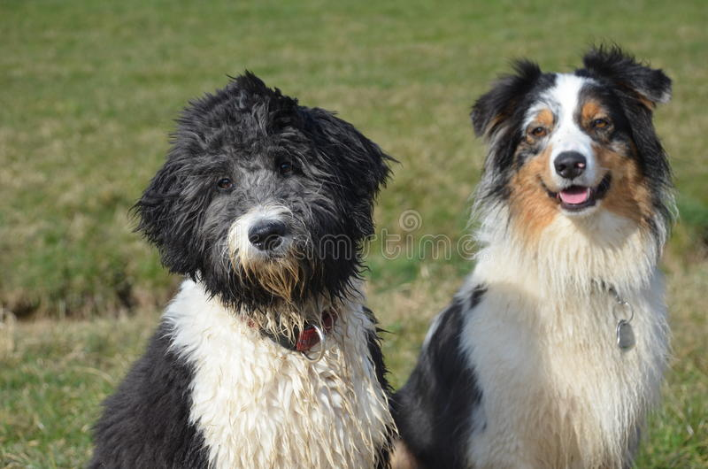 Aussiedoodle和澳大利亚牧羊人 库存照片