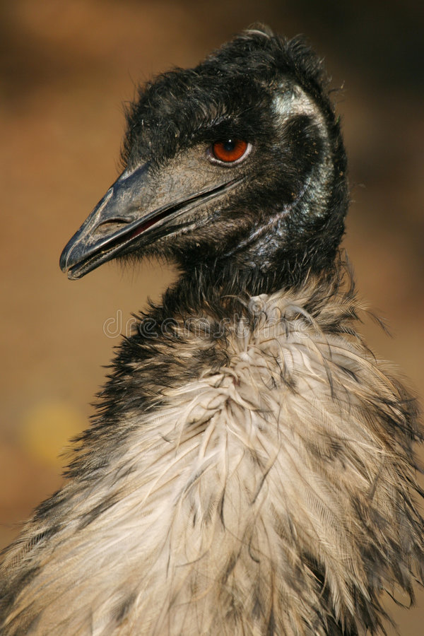 Download Austalian πουλί ΟΝΕ στοκ εικόνα. εικόνα από αυστηρότητας - 1534971