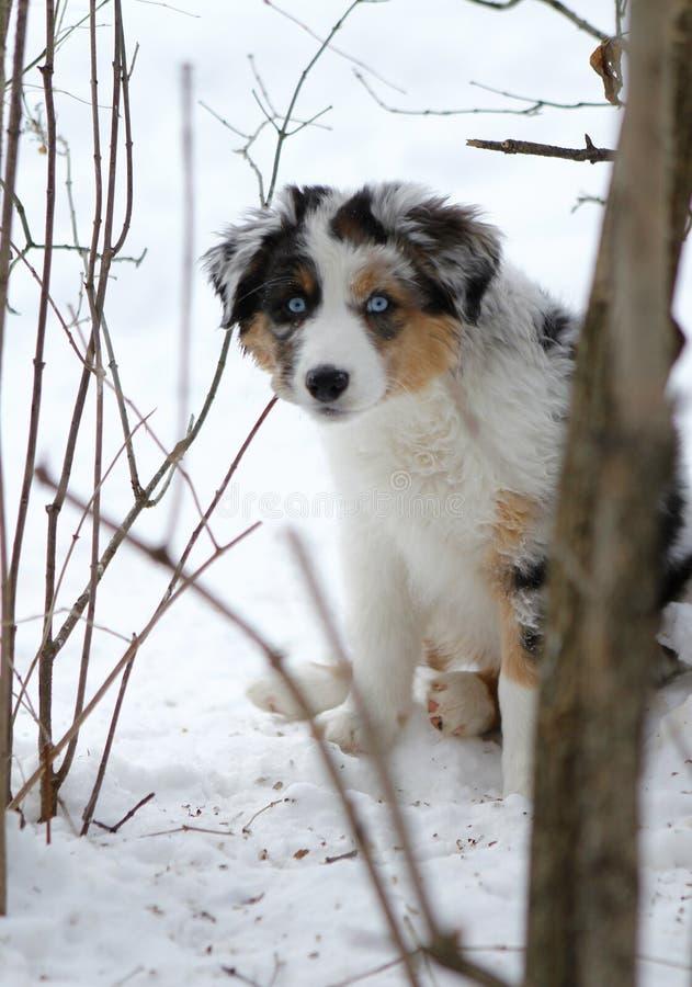 Australian Shepherd dog puppy stock image