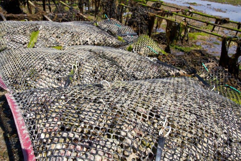 Auster, die auf der Insel von Jersey, Großbritannien bewirtschaftet stockfotos