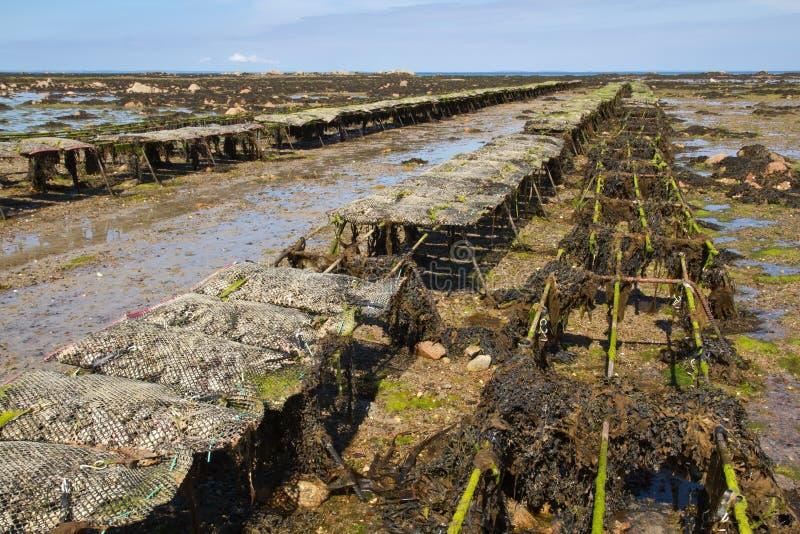 Auster, die auf Jersey, Großbritannien bewirtschaftet lizenzfreie stockfotos