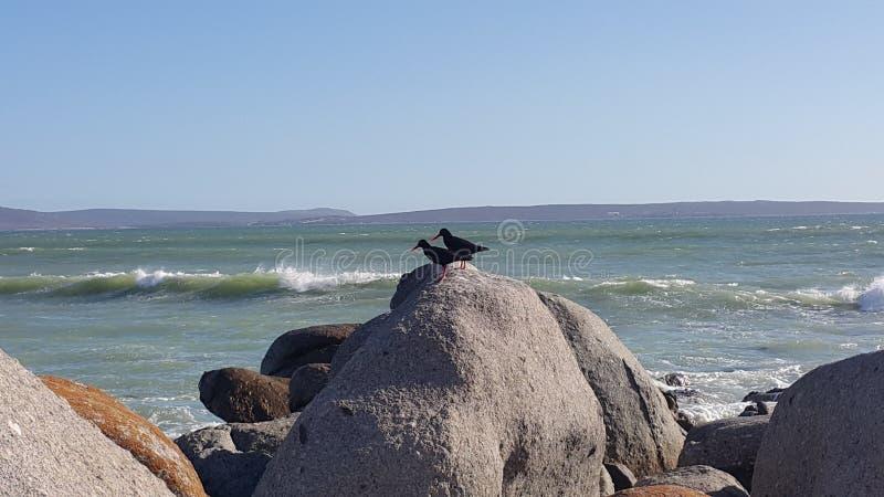 Austern-Fänger stockfotografie