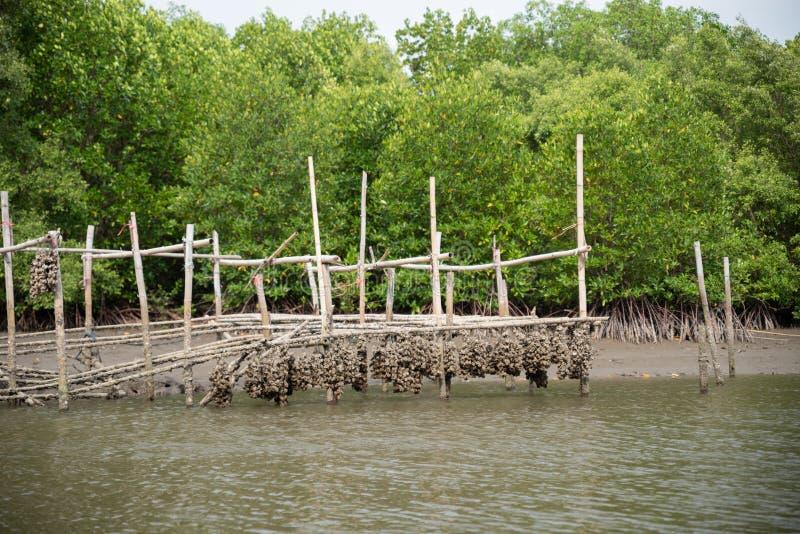 Austernbauernhof in der Mangrovenwaldfl?che bei Chanthaburi, Thailand Ein der besten Touristenattraktion in Thailand stockfotos