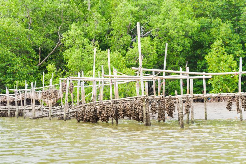 Austernbauernhof in der Mangrovenwaldfl?che bei Chanthaburi, Thailand Ein der besten Touristenattraktion in Thailand stockfotografie
