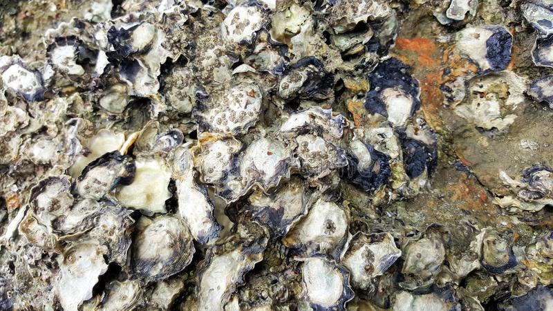 Austernoberteil auf Felsenstrand-Seehöhle lizenzfreie stockbilder