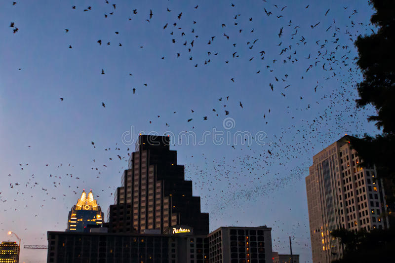 Austin bats. Large swarms of bats over downtown Austin, after leaving their roosts under Austin's Congress Avenue Bridge. They do so every evening at sunset to royalty free stock photos