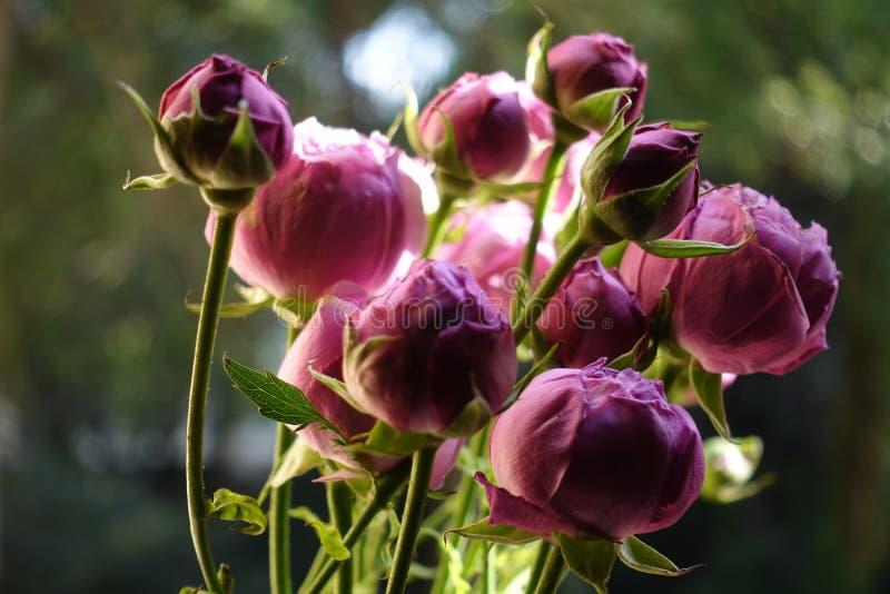 Austin rosor i solsken royaltyfria foton