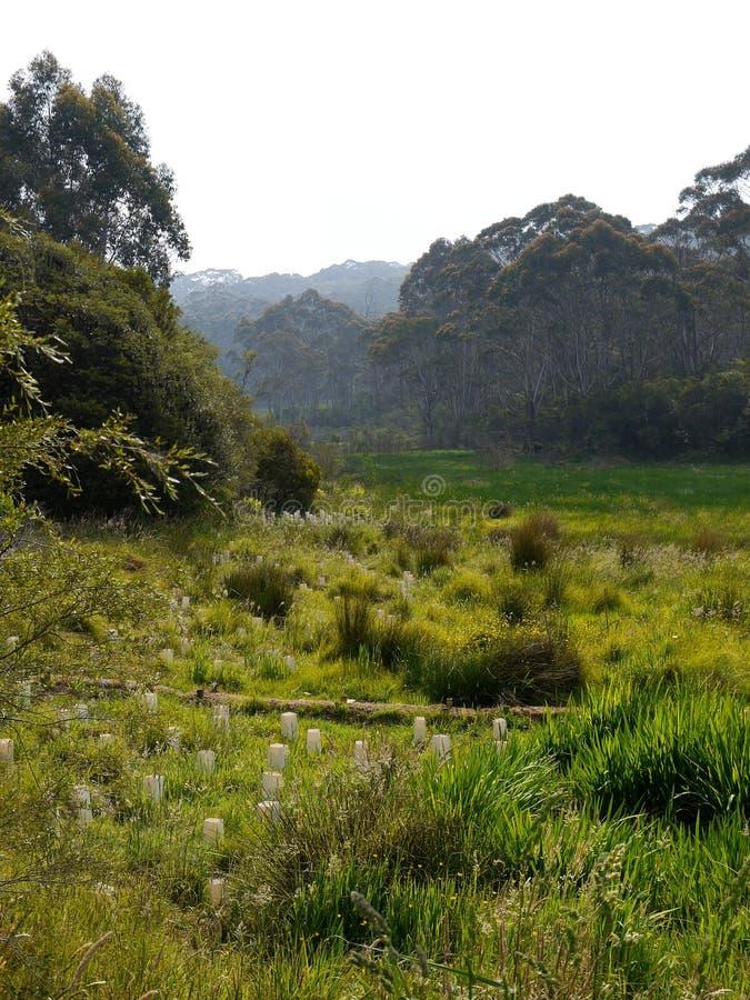 Austrália: árvores novas da regeneração nativa do arbusto foto de stock royalty free