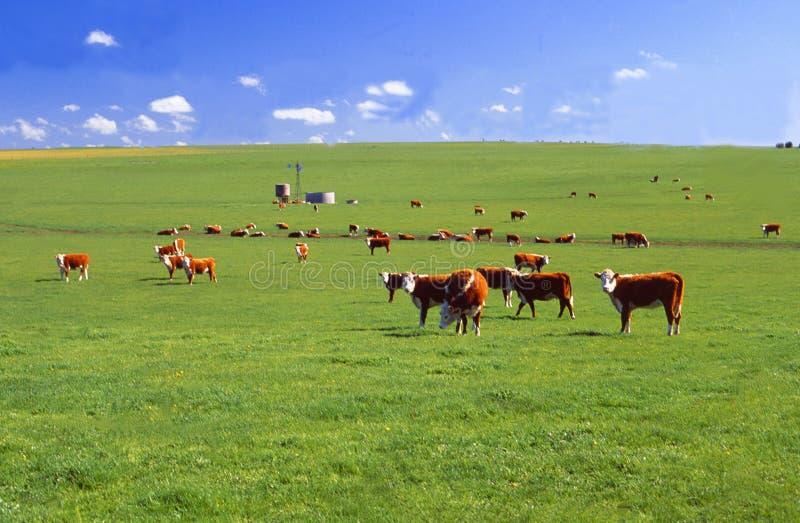 Austrália: Em Victoria estas vacas são afortunadas ter os gras verdes frescos a alimentar fotografia de stock