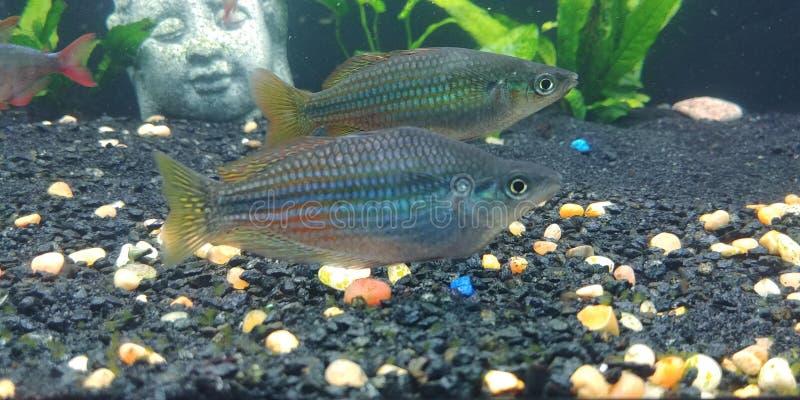 Austrailian Rainbowfish στοκ εικόνα