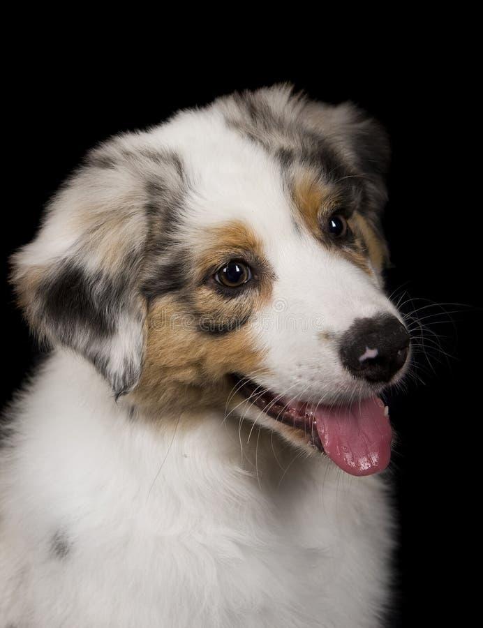 Austrailian Shepherd puppy royalty free stock image