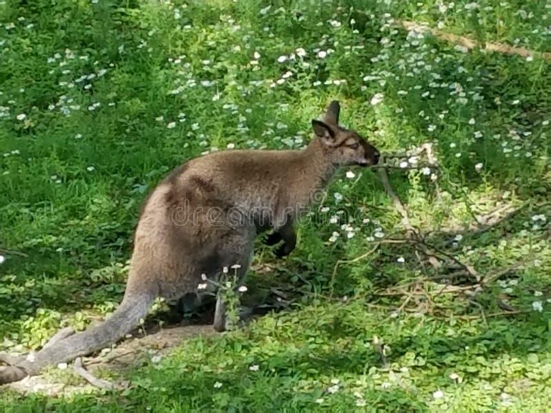 Austrailian-Wallaby stockfotografie