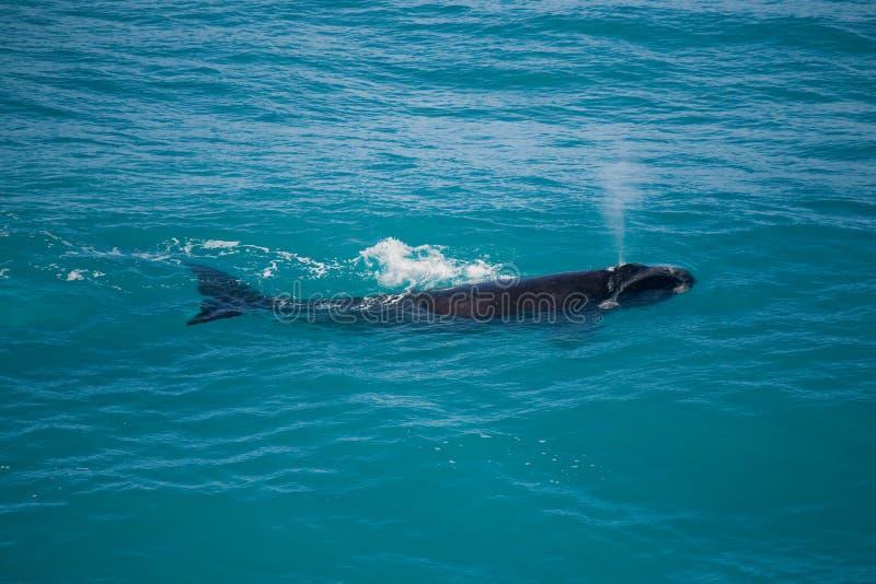 Austral del sur llano meridional de Nullarbor de la ballena derecha imagenes de archivo