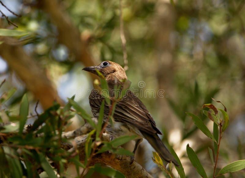 australasia Figbird obrazy stock