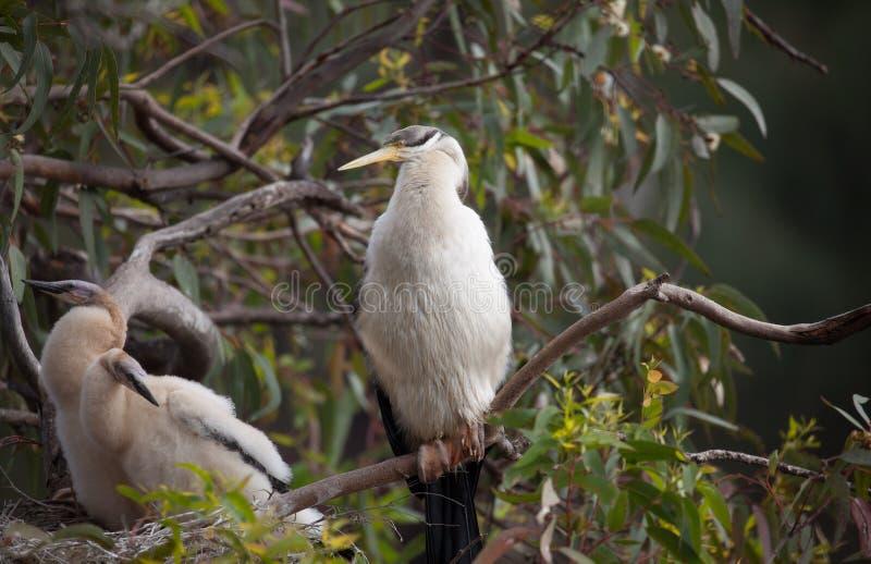 Australasian Darter stock afbeeldingen
