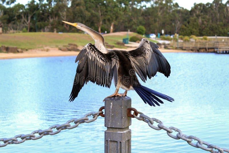 Australasian Darter-ausgebreitete Flügel durch den See lizenzfreies stockbild